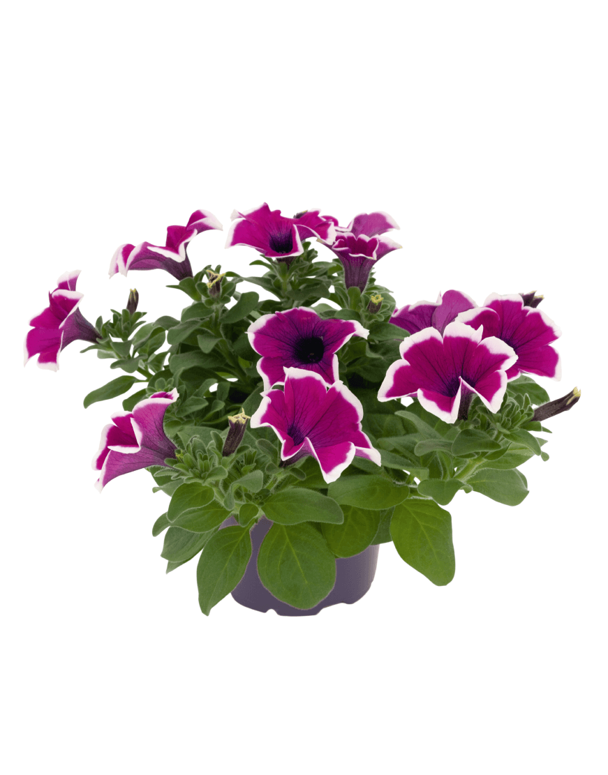 SURFINIA® Impulz Picotee Purple | Colors your city