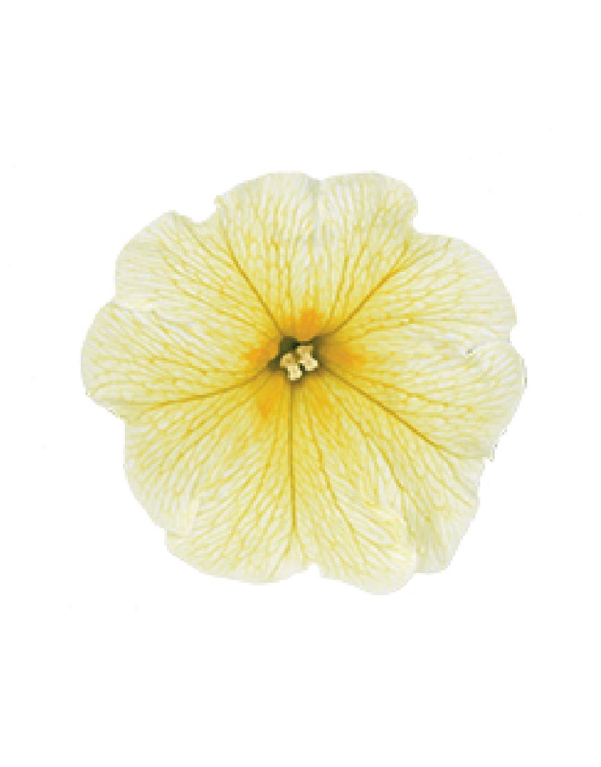 SURFINIA® Impulz Yellow | Colors your city