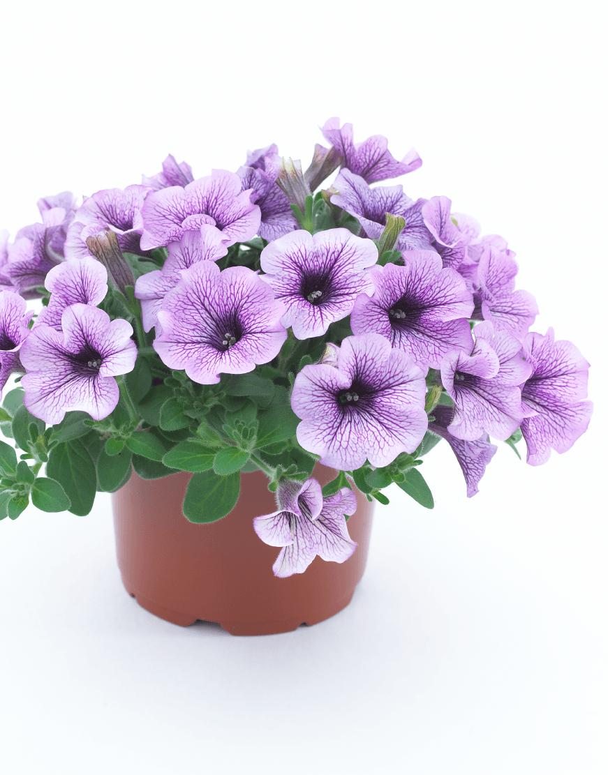SURFINIA® Purple Vein (impr.) | Colors your city