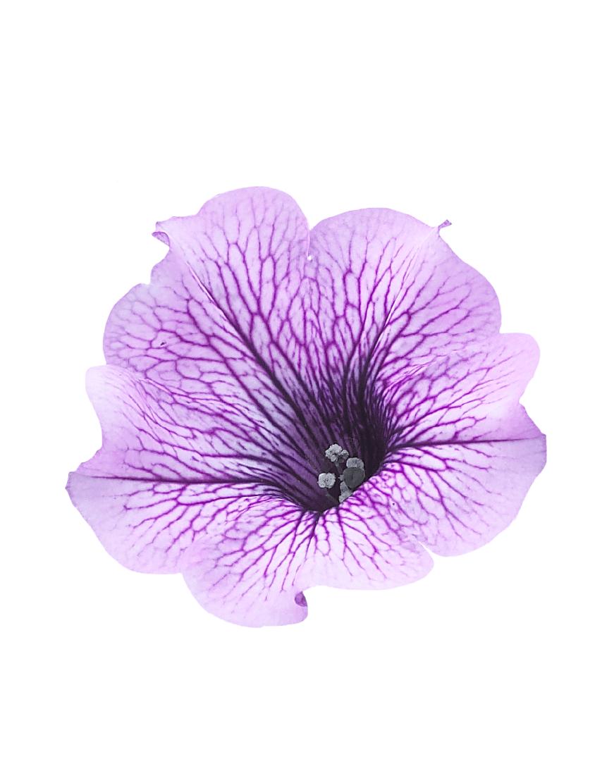 SURFINIA® Purple Vein (impr.)   Colors your city