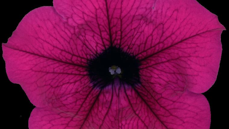 Surfinia | petunia | 478 | Sunpurple | Purple 9
