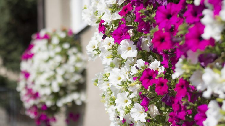 Wall mounted hanging baskets with trailing vibrant white and pink surfinia flowers
